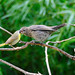 Common Yellowthroat feeding Juvenile Cowbird 1