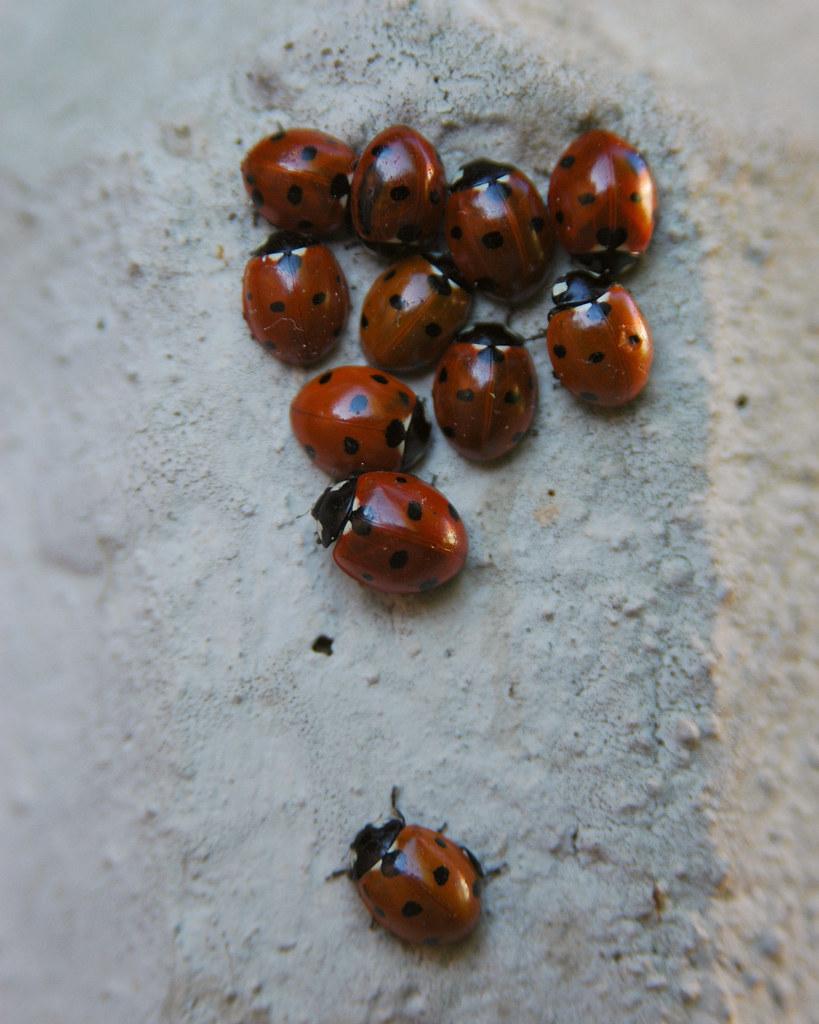 Ladybirds Invade Limpsfield: Here's A Lot Of Ladybugs Still Since