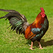 A wild cockfighting rooster chicken