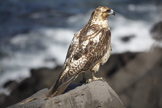 Galapagos Hawk | by Neil and Kathy Carey