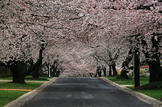 Cherry Blossom Street in Washington, DC | I'm looking