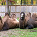 Bactrian Camels - Mackenzie and Newton