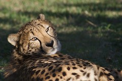 Cheetah's Glare