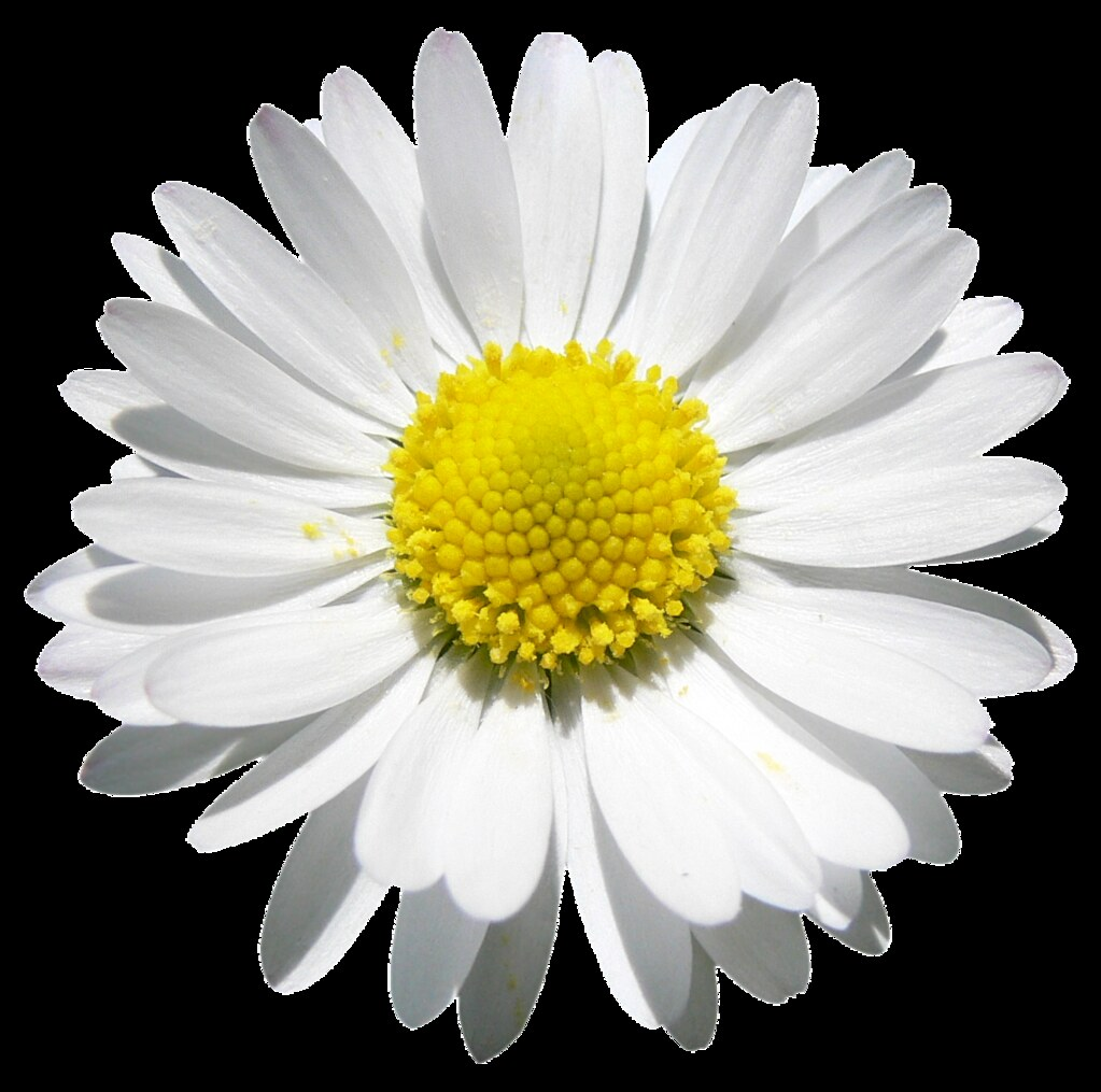 All sizes daisy beauty png file attention only the maximum sizes of this photo are available for download under a creative commons license izmirmasajfo Gallery