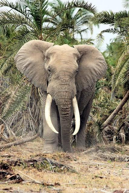 Elephant on safari. | Whilst on a safari in East Africa I ...
