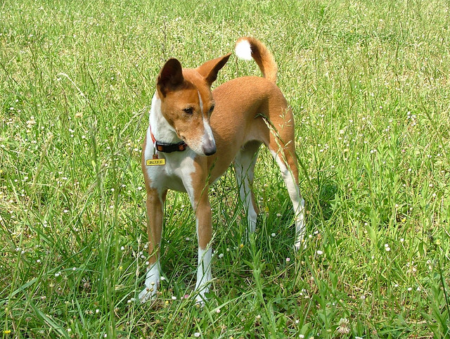 amazing-dog-facts-basenji-barkless-dog