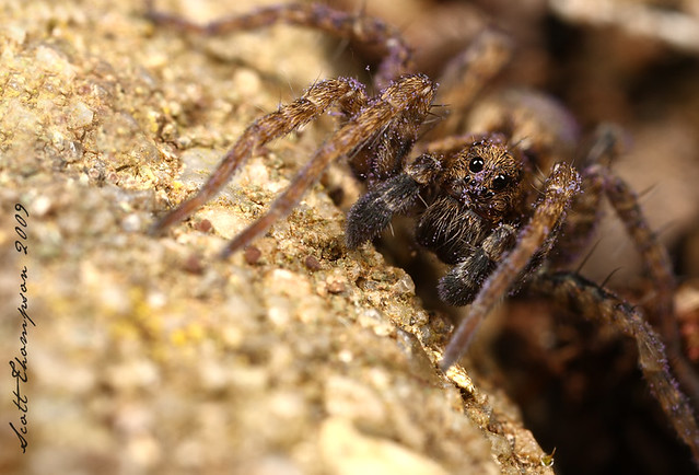 Baby wolf spider (Male) | All Canon gear - 400D SLR - MPE ...