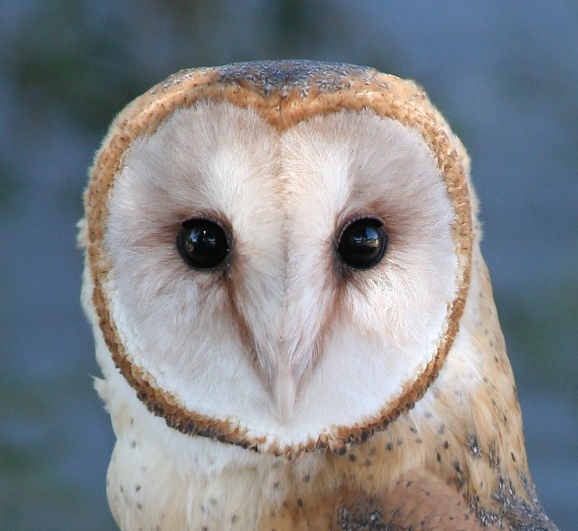 Barn Owl Face Tyto Alba Brian Bollman Flickr