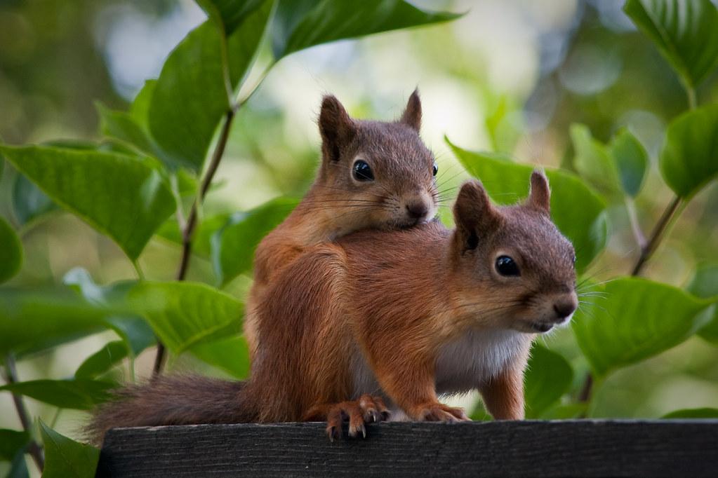 Cute squirrels in love - photo#13