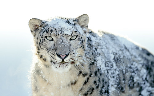 OS X Snow Leopard Wallpaper - Snow Leopard | by Macpedia