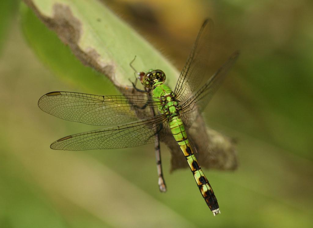 Dodge Near Me >> Not So Nice Dragonfly - Eastern Pondhawk (Female) eating B ...