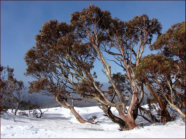Iconic image of Snow Gum. Снежный эвкалипт   Eucalyptus pauc…   Flickr