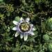 Pasionaria o Mburucuy'a (Passiflora caerulea)