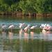 Roseate Spoonbills 12-2006 Sanibel_FL