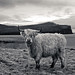 Highland Cow in Black &White