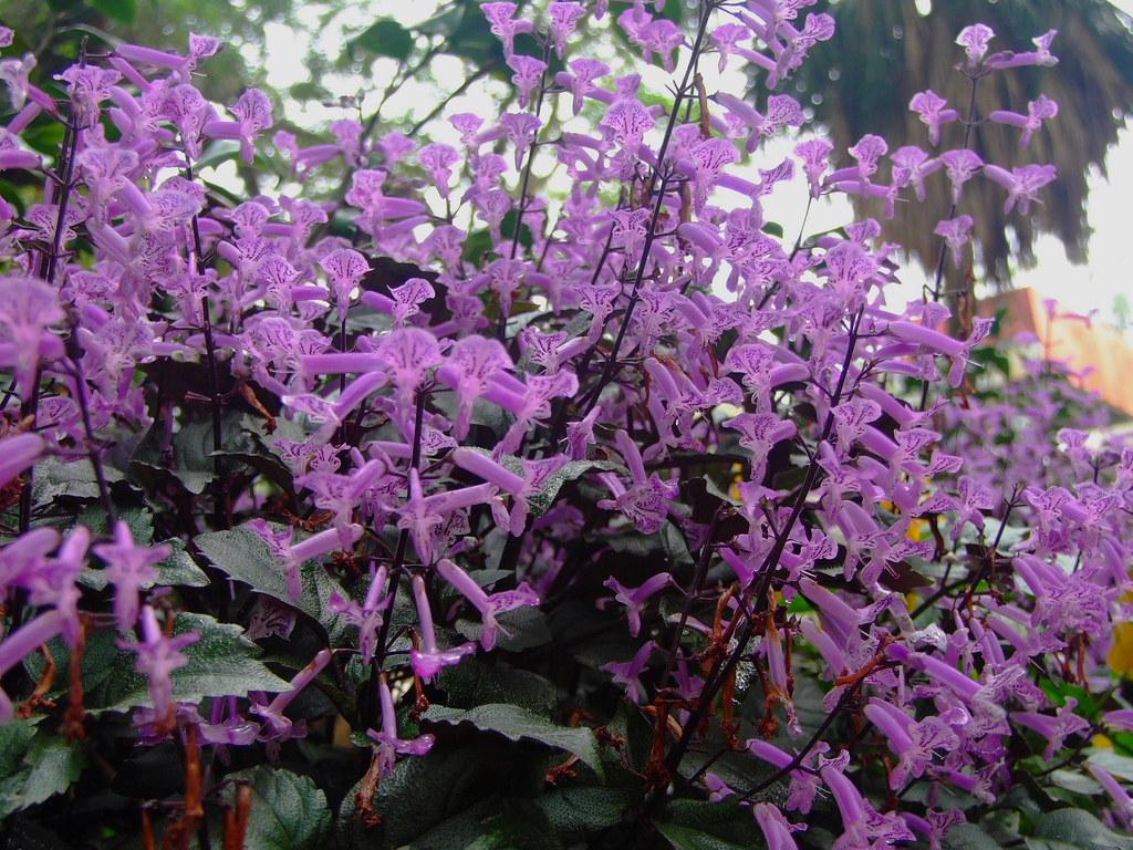 LAMIACEAE Mona Lavender Plectranthus