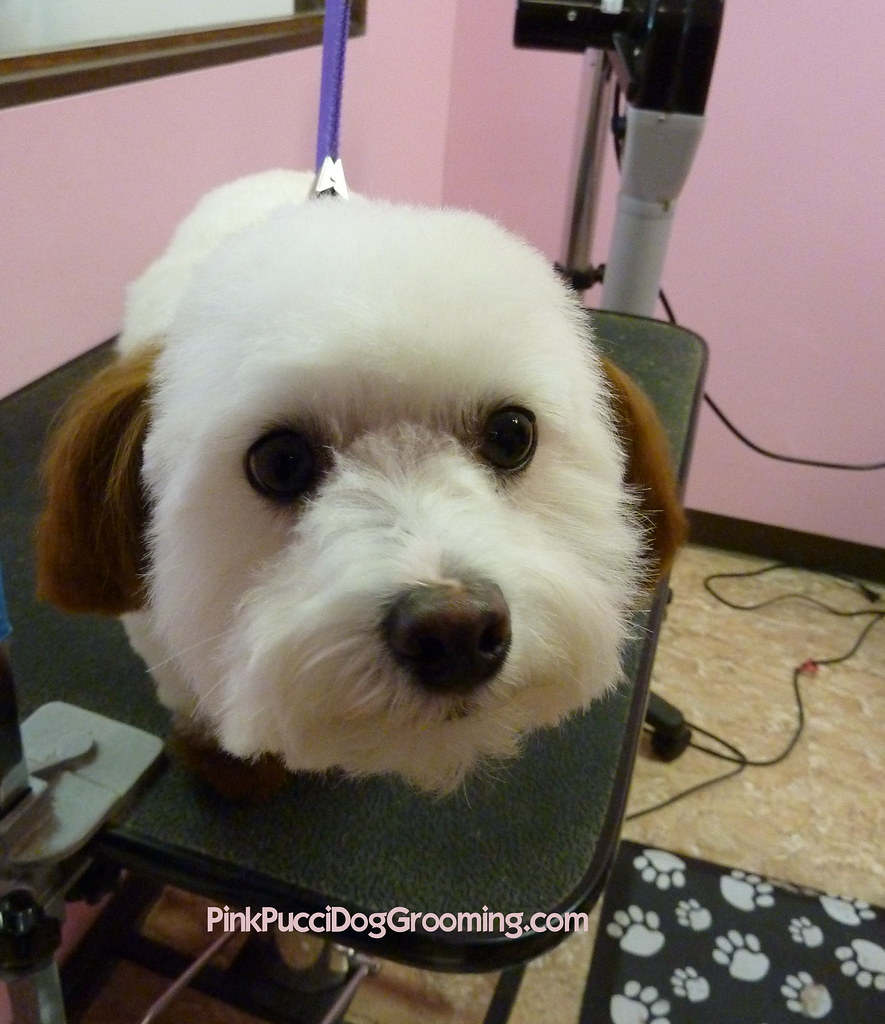 In Dog Grooming Terms What Is A Teddy Bear Face