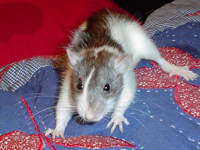 Трехцветная крыса, фото мышевидные грызуны фотография картинка