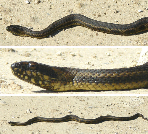 Gulf Salt Marsh Snake North Florida Flickr Photo Sharing