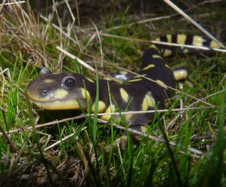 Endangered/Threatened California Tiger Salamander (Ambystoma californiense) | by USFWS Endangered Species
