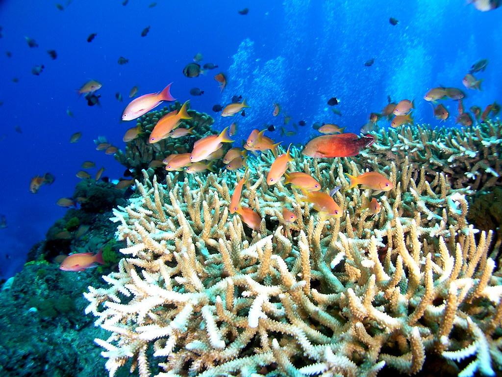 綠島著名潛點大香菇,其頭上的軸孔珊瑚提供著良好的棲所供給許多魚類躲藏。照片提供:中研院生物多樣性研究中心 珊瑚礁演化生態與遺傳研究室。