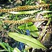 EPIPHYTE FERN (Microgramma  mortoniana) ................... Original= (3560 x 2390)