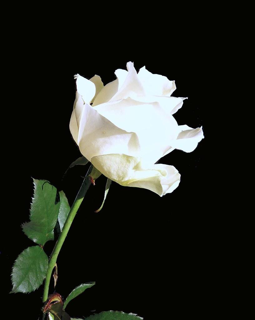 la rose blanche de munich die wei e rose in m nchen flickr. Black Bedroom Furniture Sets. Home Design Ideas