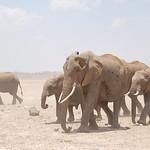 Elephant Herd, Amboseli