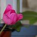tulip again