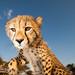 Wide Angle Cheetah_5639