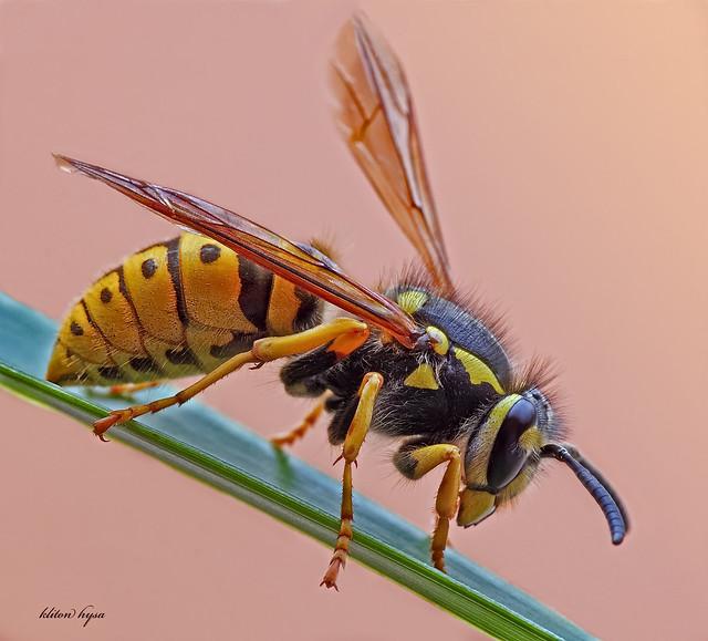 Queen Wasp Size queen-wasp | kliton hy...