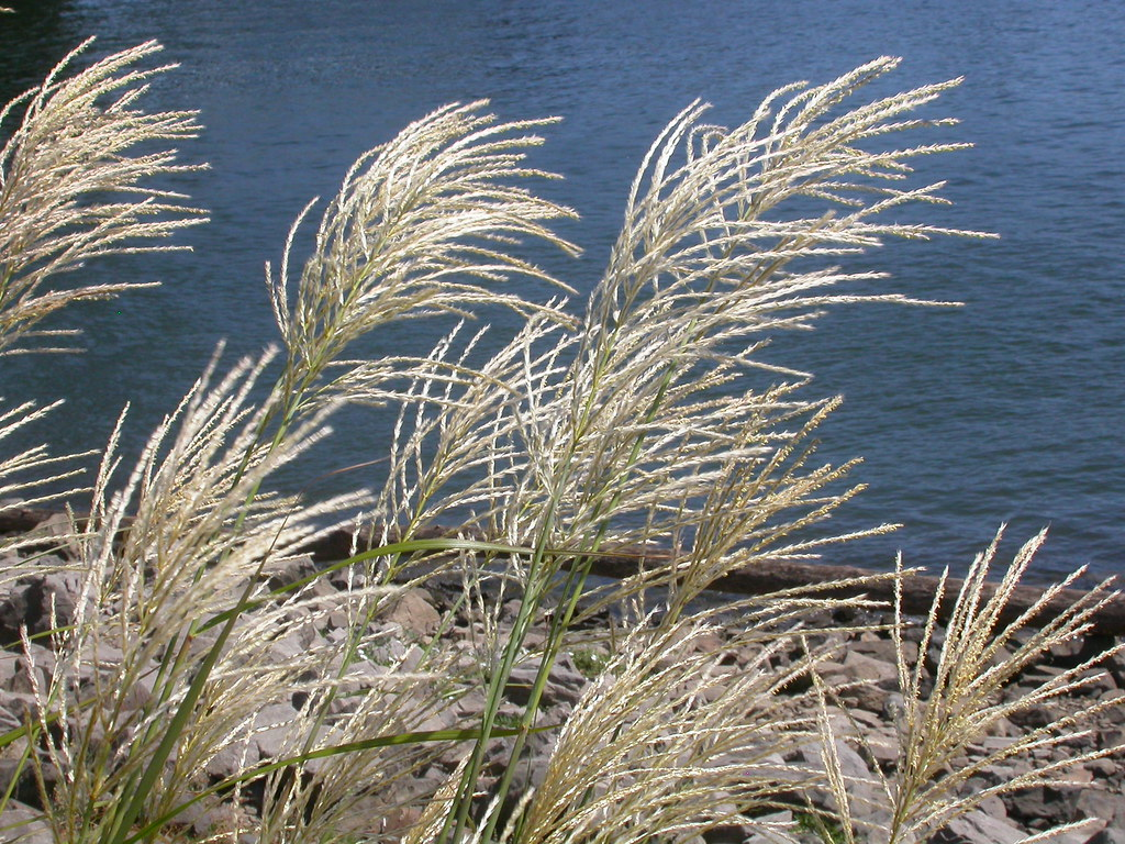 Miscanthus sinensis the inflorescence of miscanthus is for Japanese ornamental grass varieties