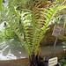Blechnum fern (Blechnum brasiliense var. brasiliense) ....... Original = (2702 x 2900)