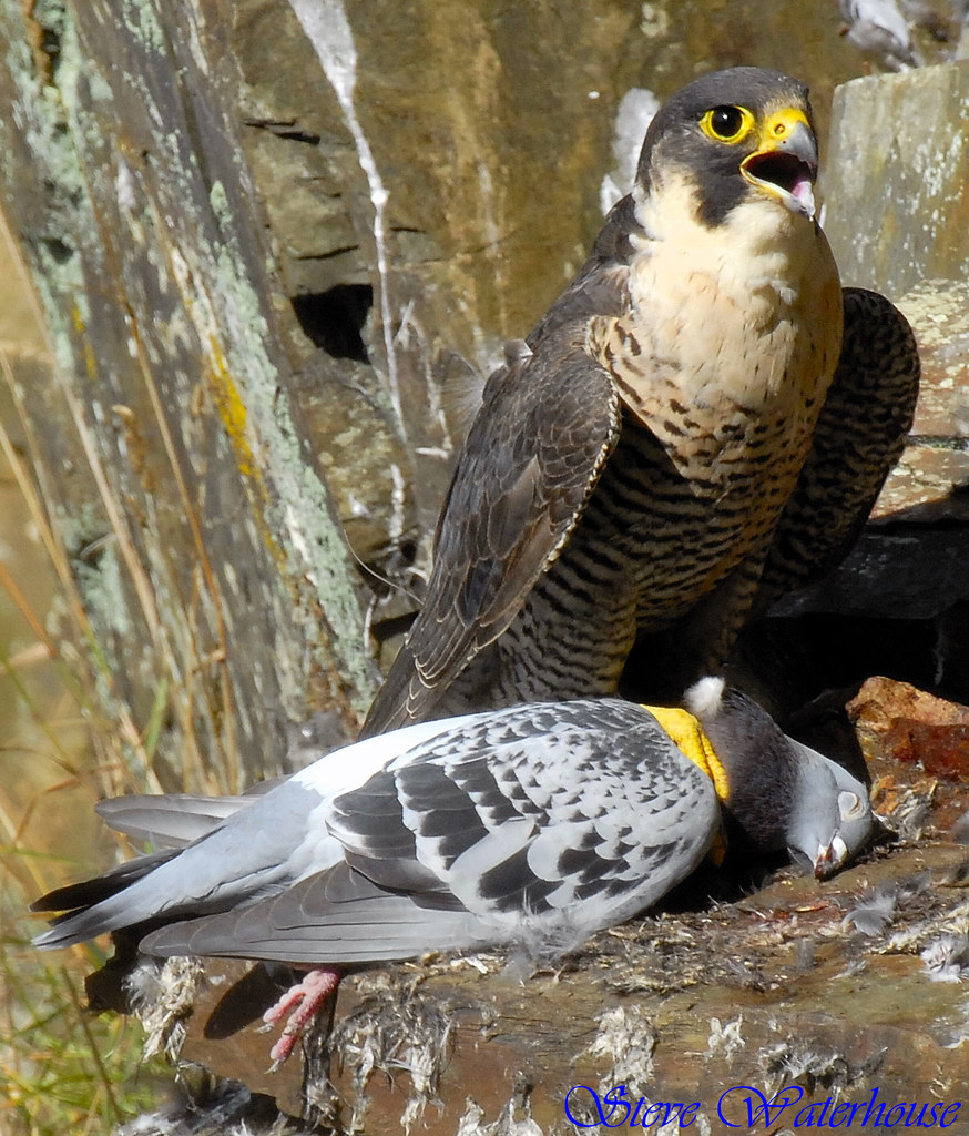 Adult Female Peregrine Falcon And Pigion  Adult Female Pere  Flickr-3073