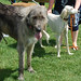 Irish Wolfhound & Saluki