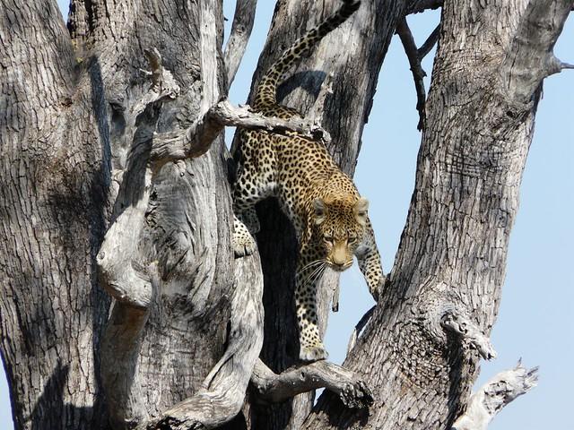 Leopardo fotografiado en mi primer viaje a Botswana