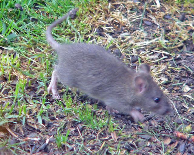 Baby Field Baby Field Rat | by