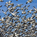 lesser snow goose, Chen caerulescens, take up flight after a bal