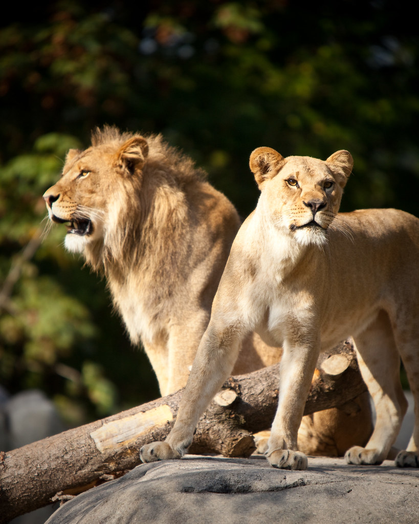 Oregon Zoo: Big Kitties Return To The Oregon Zoo