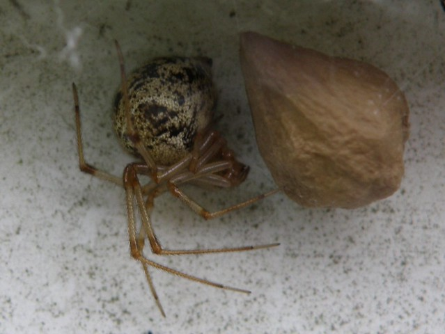 American house spider egg sac - photo#5