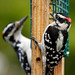 Male Hairy and Downy Woodpeckers