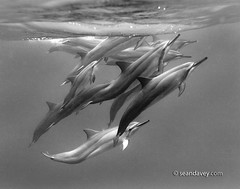 Dolphin Pod | by Sean Davey Photography