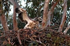 Eaglet Exercising Wings, 16th September