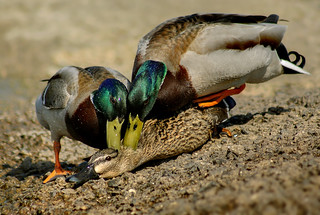 Mating Mallards | by LHG Creative Photography