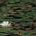 Water lily in Schreeder Pond