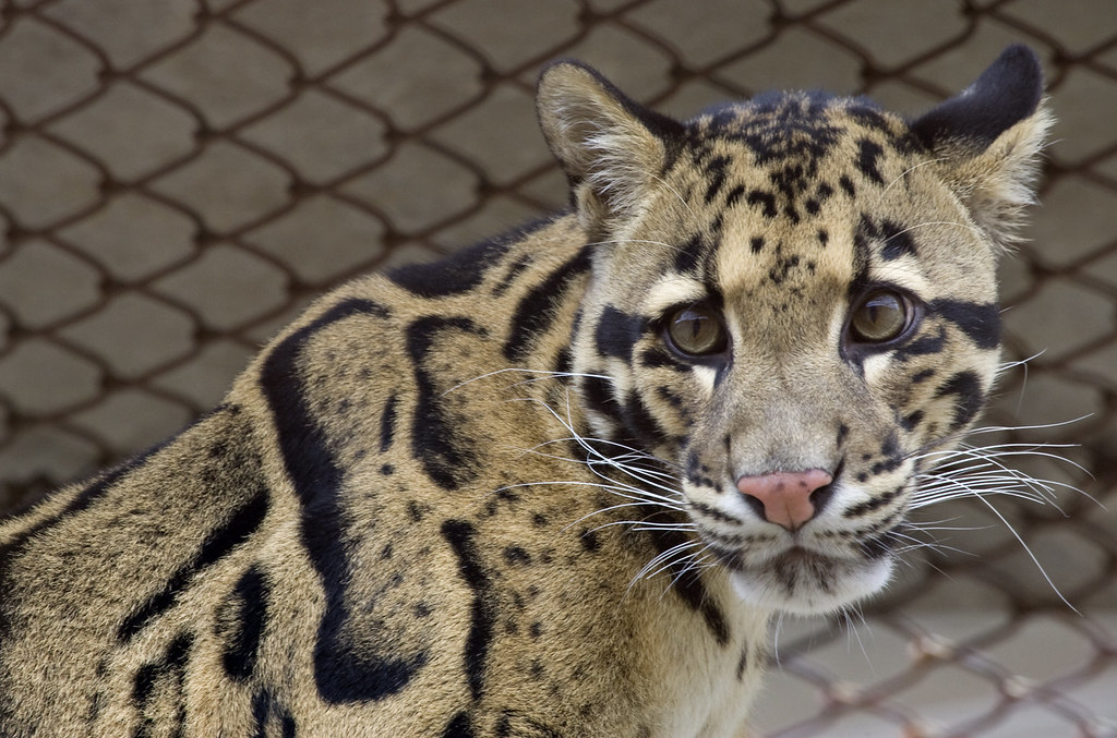Clouded Leopards Born At The National Zoo S Conservation A