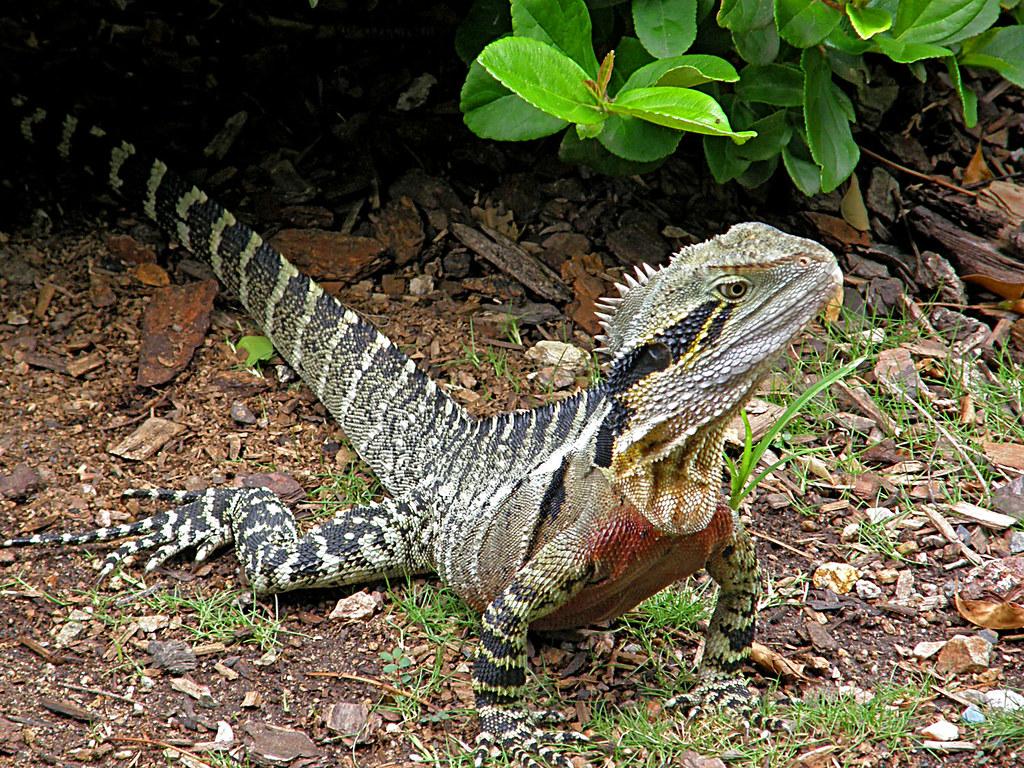 Male Eastern Water Dragon 426 Eastern Water Dragon