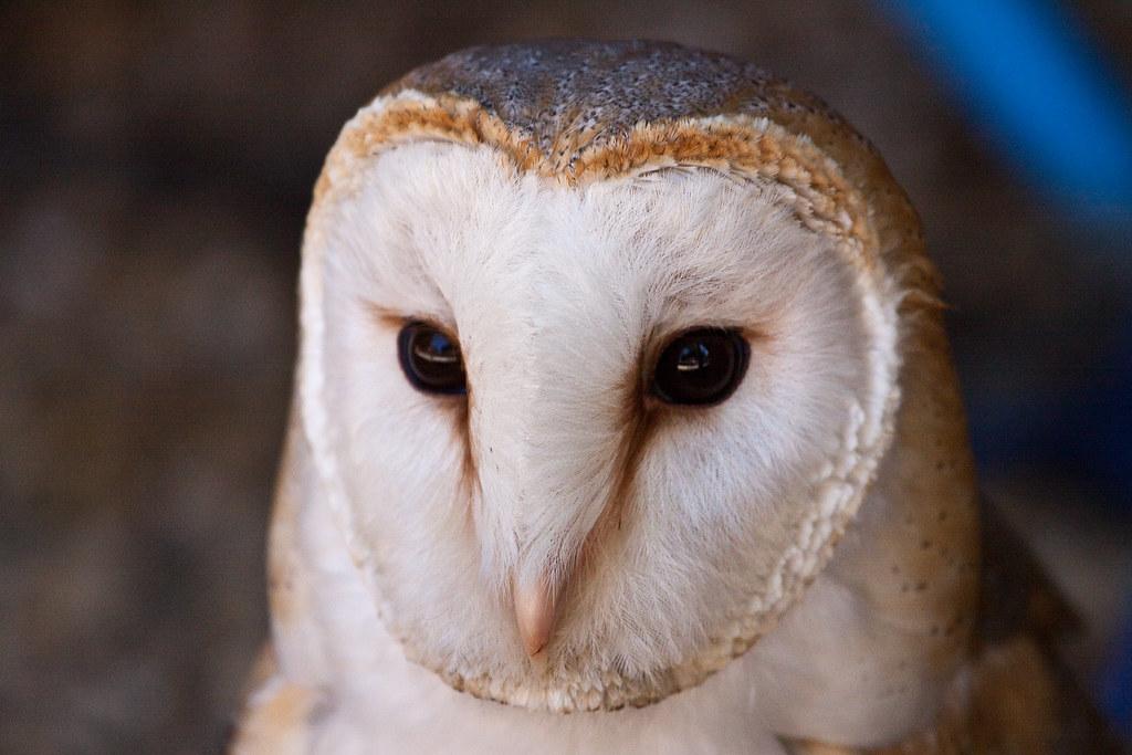 Barn Owl Closeup Face Detail Simon Flickr
