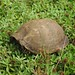 Turtle in lippia