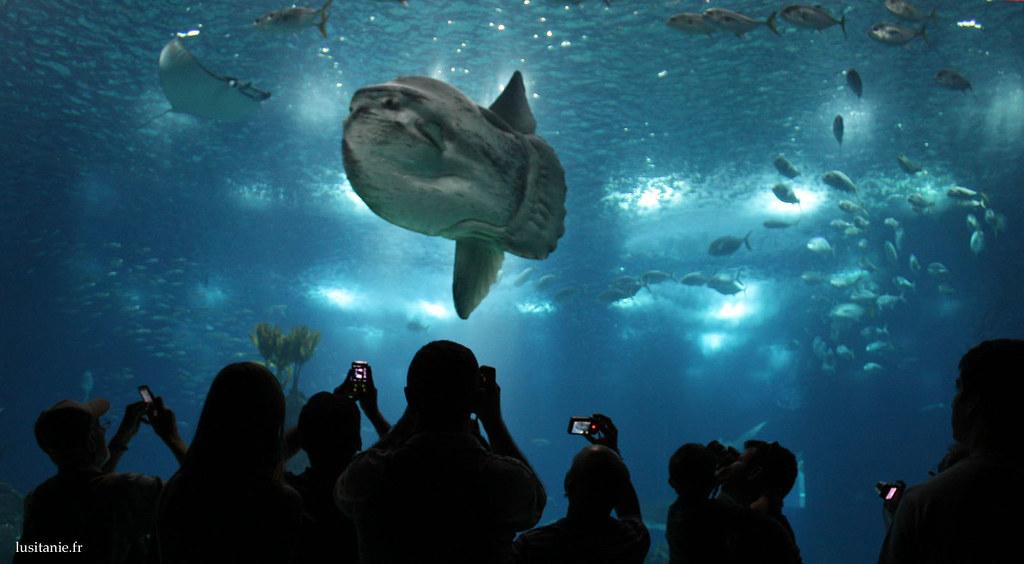 Le poisson lune est majestueux, attirant les nombreuses photos des visiteurs